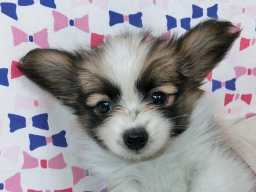 パピヨンの子犬(ID:1244711490)の2枚目の写真/更新日:2017-07-17