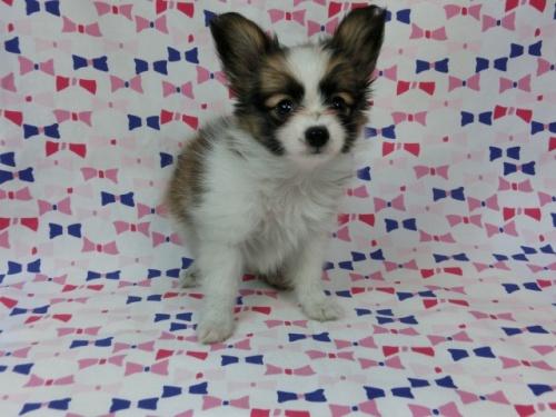 パピヨンの子犬(ID:1244711490)の3枚目の写真/更新日:2017-07-17