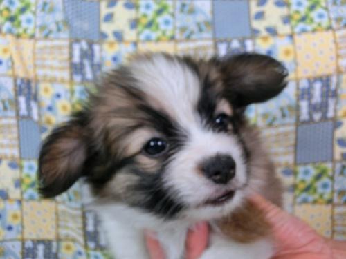 パピヨンの子犬(ID:1244711491)の1枚目の写真/更新日:2017-07-10