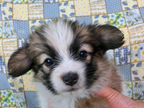 パピヨンの子犬(ID:1244711491)の3枚目の写真/更新日:2017-07-10
