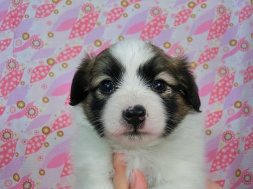 パピヨンの子犬(ID:1244711492)の1枚目の写真/更新日:2017-06-27