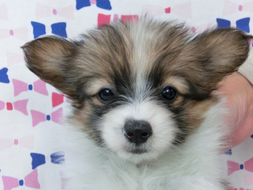 パピヨンの子犬(ID:1244711493)の2枚目の写真/更新日:2017-07-17