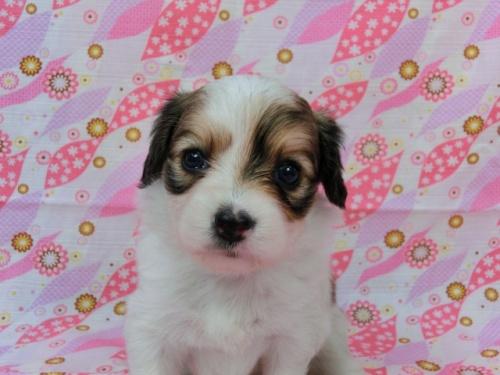 パピヨンの子犬(ID:1244711495)の2枚目の写真/更新日:2017-06-27