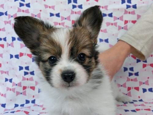 パピヨンの子犬(ID:1244711498)の1枚目の写真/更新日:2017-07-17