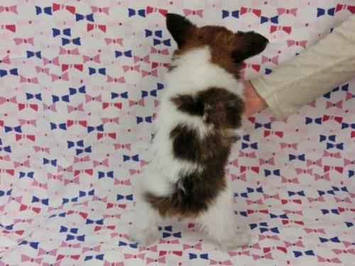 パピヨンの子犬(ID:1244711498)の4枚目の写真/更新日:2017-07-17