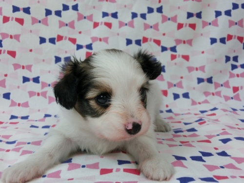 パピヨンの子犬(ID:1244711499)の1枚目の写真/更新日:2017-07-17