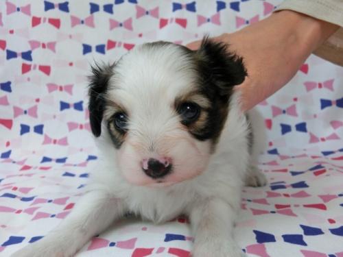 パピヨンの子犬(ID:1244711499)の3枚目の写真/更新日:2017-07-17