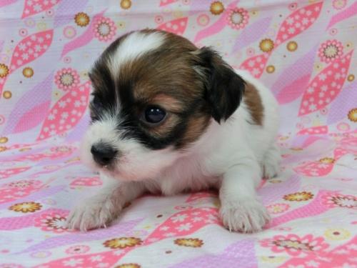 パピヨンの子犬(ID:1244711501)の1枚目の写真/更新日:2017-07-21