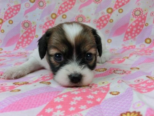 パピヨンの子犬(ID:1244711501)の3枚目の写真/更新日:2017-07-21