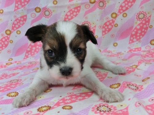 パピヨンの子犬(ID:1244711502)の1枚目の写真/更新日:2017-07-21