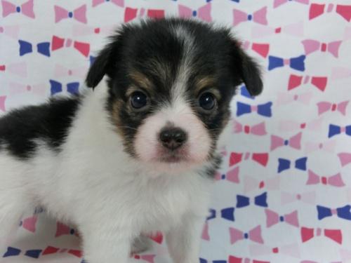 パピヨンの子犬(ID:1244711503)の2枚目の写真/更新日:2017-07-21