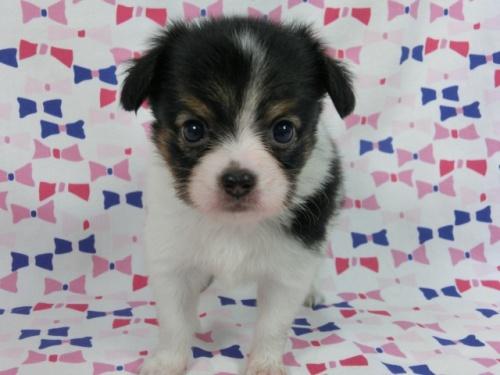 パピヨンの子犬(ID:1244711503)の3枚目の写真/更新日:2017-07-21