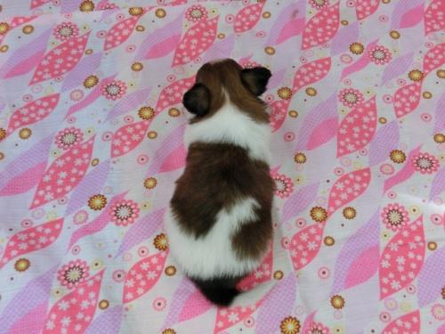パピヨンの子犬(ID:1244711504)の4枚目の写真/更新日:2017-07-21