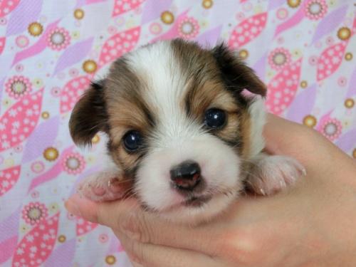 パピヨンの子犬(ID:1244711505)の1枚目の写真/更新日:2017-07-21