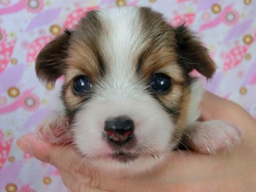 パピヨンの子犬(ID:1244711505)の2枚目の写真/更新日:2017-07-21