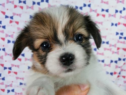 パピヨンの子犬(ID:1244711508)の1枚目の写真/更新日:2017-07-21