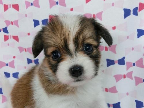 パピヨンの子犬(ID:1244711508)の3枚目の写真/更新日:2017-07-21