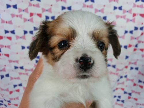 パピヨンの子犬(ID:1244711509)の1枚目の写真/更新日:2017-07-21