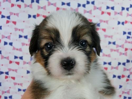パピヨンの子犬(ID:1244711511)の2枚目の写真/更新日:2017-07-21