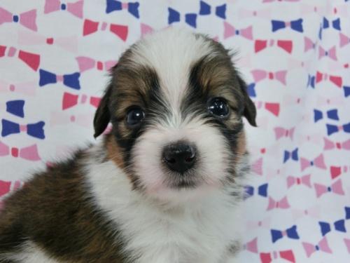 パピヨンの子犬(ID:1244711511)の3枚目の写真/更新日:2017-07-21