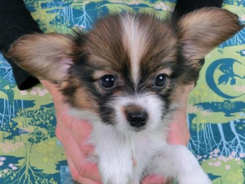 パピヨンの子犬(ID:1244711512)の2枚目の写真/更新日:2017-07-21