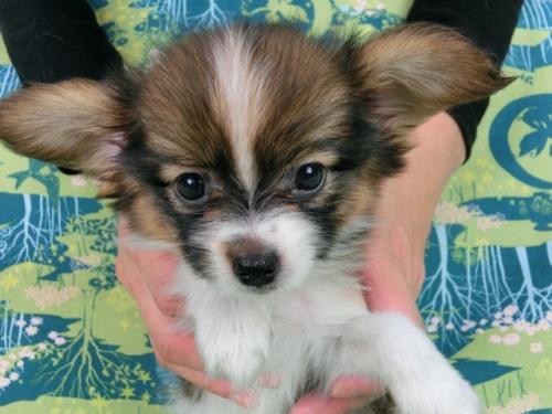 パピヨンの子犬(ID:1244711512)の3枚目の写真/更新日:2017-07-21