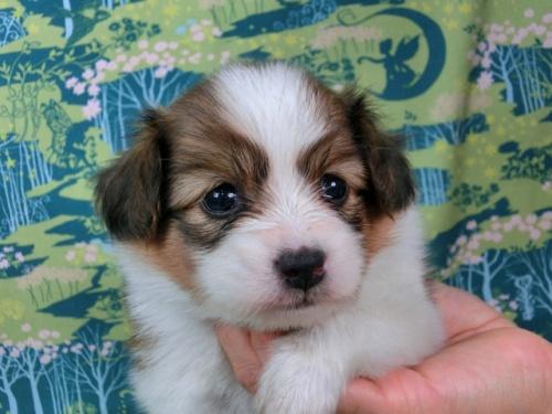 パピヨンの子犬(ID:1244711515)の2枚目の写真/更新日:2017-07-31