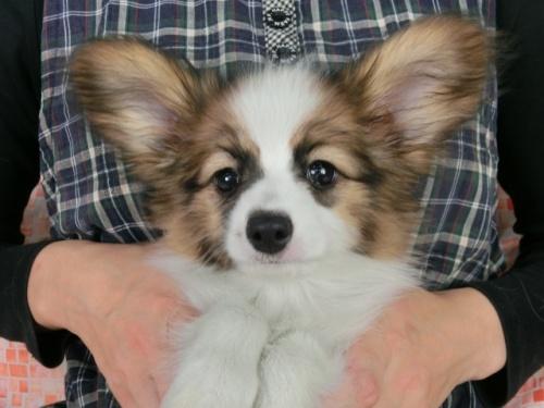 パピヨンの子犬(ID:1244711516)の2枚目の写真/更新日:2017-08-18