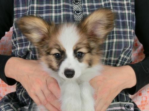 パピヨンの子犬(ID:1244711516)の3枚目の写真/更新日:2017-09-20