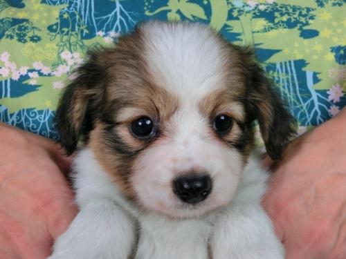 パピヨンの子犬(ID:1244711518)の2枚目の写真/更新日:2017-08-18