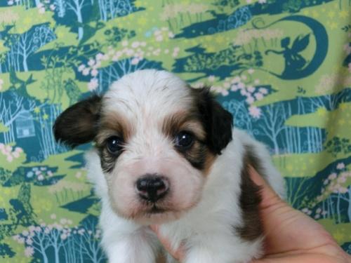 パピヨンの子犬(ID:1244711519)の1枚目の写真/更新日:2017-08-01