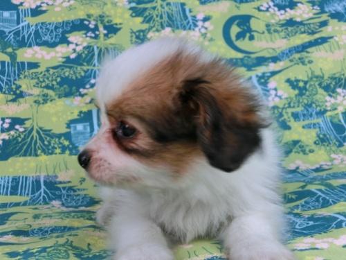 パピヨンの子犬(ID:1244711520)の1枚目の写真/更新日:2017-08-18