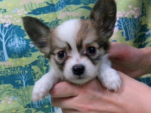 パピヨンの子犬(ID:1244711521)の3枚目の写真/更新日:2017-08-14