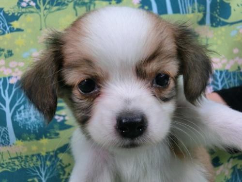 パピヨンの子犬(ID:1244711522)の1枚目の写真/更新日:2017-08-14