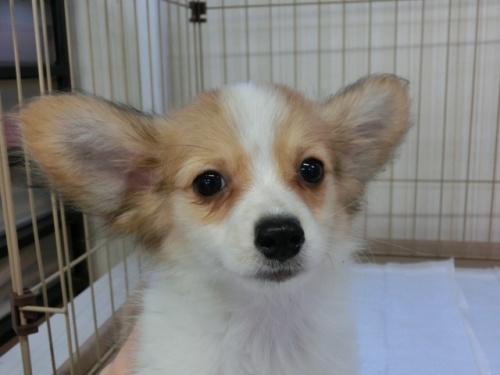 パピヨンの子犬(ID:1244711523)の3枚目の写真/更新日:2017-08-14
