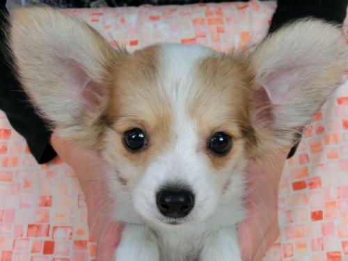 パピヨンの子犬(ID:1244711524)の1枚目の写真/更新日:2017-08-14