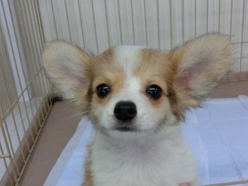 パピヨンの子犬(ID:1244711524)の3枚目の写真/更新日:2017-08-14