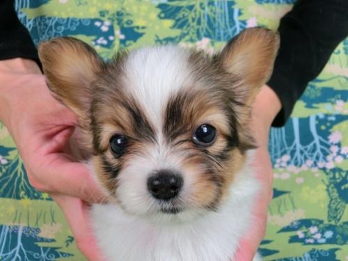 パピヨンの子犬(ID:1244711526)の1枚目の写真/更新日:2017-08-18