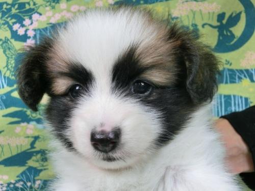 パピヨンの子犬(ID:1244711528)の3枚目の写真/更新日:2017-08-14