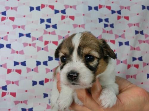 パピヨンの子犬(ID:1244711529)の1枚目の写真/更新日:2017-08-08