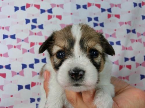 パピヨンの子犬(ID:1244711529)の2枚目の写真/更新日:2017-08-08