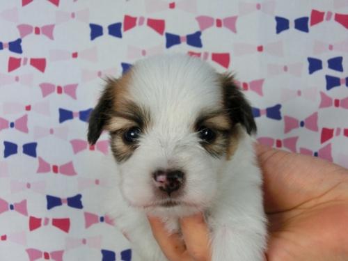パピヨンの子犬(ID:1244711530)の1枚目の写真/更新日:2017-08-08