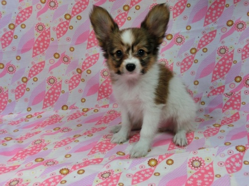 パピヨンの子犬(ID:1244711531)の2枚目の写真/更新日:2017-08-18
