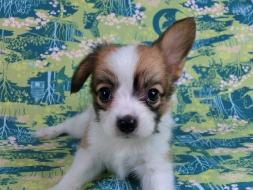 パピヨンの子犬(ID:1244711532)の1枚目の写真/更新日:2017-08-18