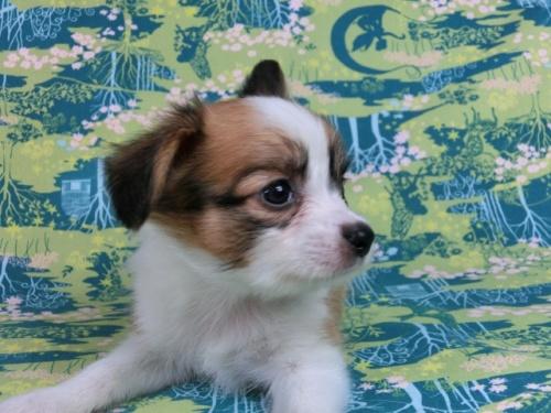 パピヨンの子犬(ID:1244711532)の2枚目の写真/更新日:2017-08-18