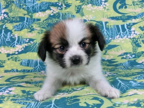 パピヨンの子犬(ID:1244711533)の3枚目の写真/更新日:2017-08-18