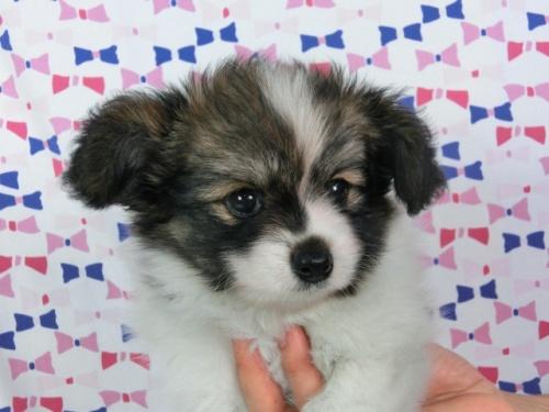 パピヨンの子犬(ID:1244711534)の2枚目の写真/更新日:2017-08-18