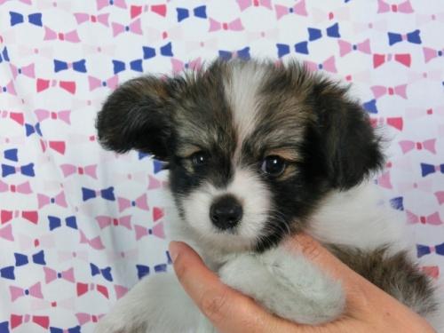 パピヨンの子犬(ID:1244711534)の3枚目の写真/更新日:2017-08-18