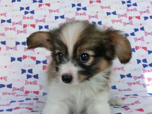 パピヨンの子犬(ID:1244711535)の1枚目の写真/更新日:2017-08-18