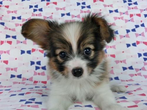 パピヨンの子犬(ID:1244711535)の2枚目の写真/更新日:2017-08-18